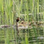 Grebes at thier nest