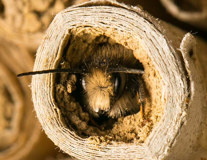 mason-bee-emerg-web