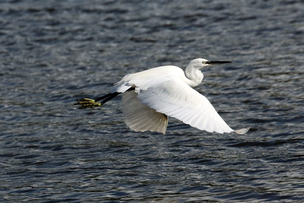 Image of Little Egret Seaton