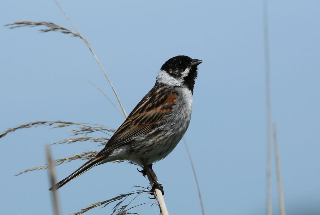reed-bunting2