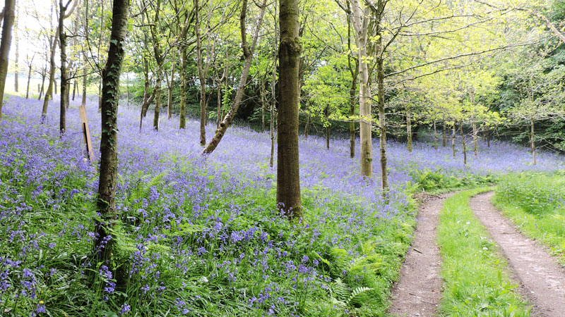 Image of Bluebells on a walk